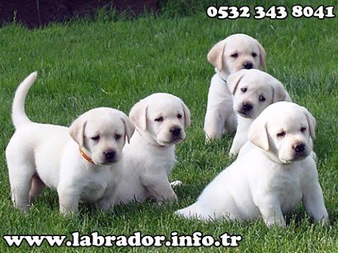 Beyaz Labrador Yavruları 05323438041 Youtube