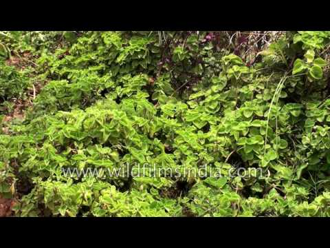 Cuban oregano or Plectranthus amboinicus