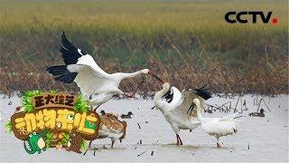 [正大综艺·动物来啦]选择题:以下哪种行为代表白鹤相亲成功?| CCTV