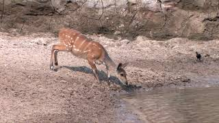 A Very Lucky Bushbuck - Escapes from Crocodile