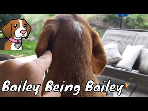 How To Annoy Your Beagle - Bailey Being Bailey