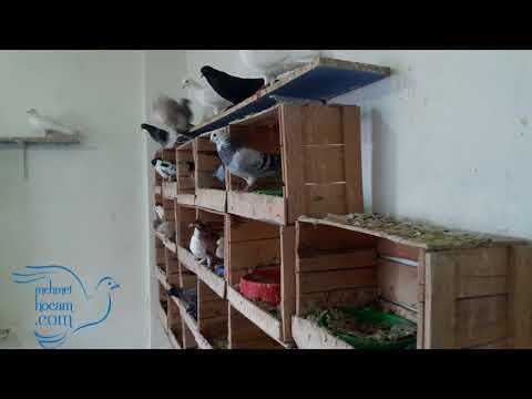 50 Dişi Güvercinin Arasına Bir Erkek Güvercin Saldım