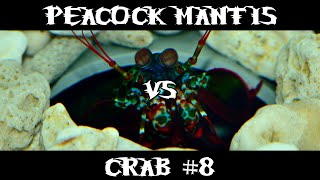 Peacock Mantis VS Crab #8