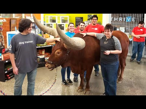 "Theresa - Texas Man Walks BIG Steer Into Petco to Test Their""Any Pet ""Policy (Video)"