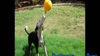 Home Alone Aussie Dog Toy Bungy Ball