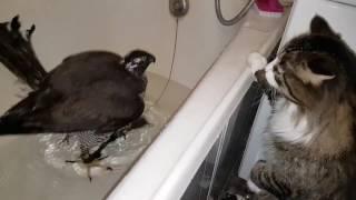 Ястреб-тетеревятник Сильва купается в ванной под наблюдением кота.