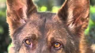 Liver Color German Shepherd Dogs
