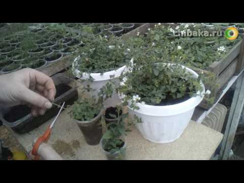 Как собрать семена бакопы видео