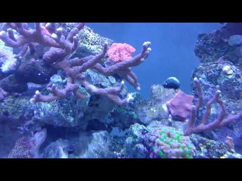 Reef tank update on diy led flood lights. 30,000 Kelvin color.