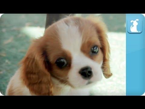 Puppy Love - Cavalier King Charles Spaniels