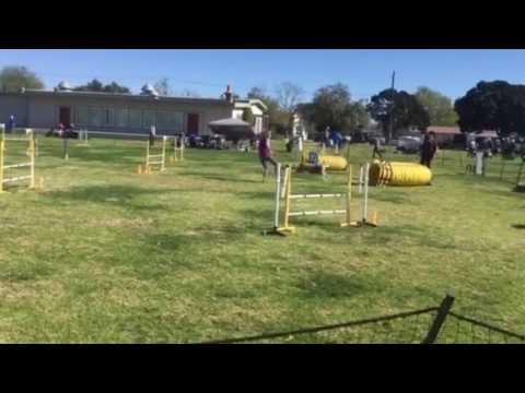 Australian Shepherd Kai- AKC Dog Agility- Jumpers 2017