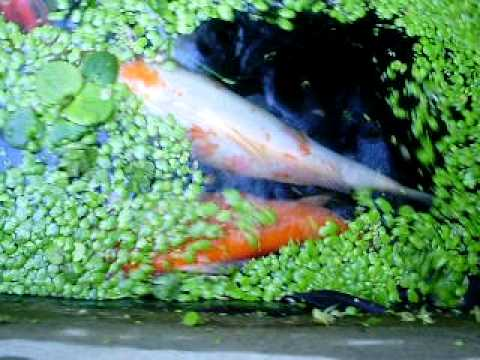 Koi carpas goldfish y escalares peces ornamentales doovi for Carpas koi cuidados