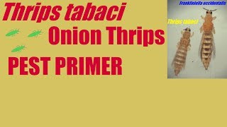 Thrips tabaci [Onion Thrips] #PestPrimer