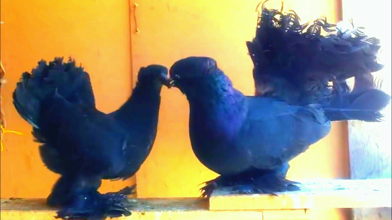 Jet Cobra Shining Black Fantail Pigeon In High Quality
