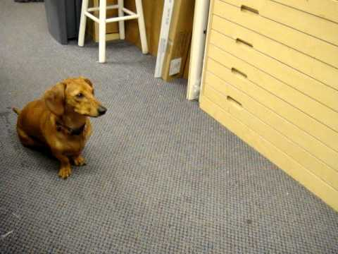 Ammo the Dachshund missing his dad