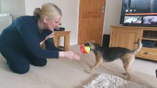 Border terrier Leeloo plays, zoomies and jumps.
