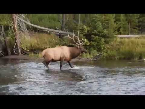Elk walking in a river at Yellowstone National Park