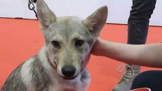 Tschechosl. Wolfshunde(独語)チェコスロバキアン・ウルフドッグのプ...