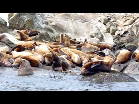 Steller Sea Lions in Canada