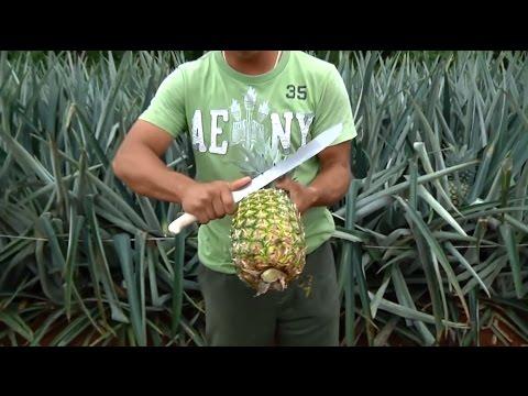 Công nghệ thu hoạch dứa ở các nông trại phương tây