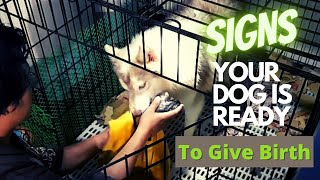 Signs Your Dog Is Ready To Give Birth | Pregnant Dog Assist | Miggy San's Huskies