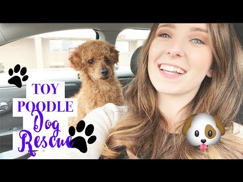 Toy Poodle Dog Rescue