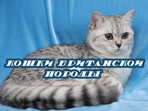 Шотландская вислоухая кошка скоттиш фолд описание породы