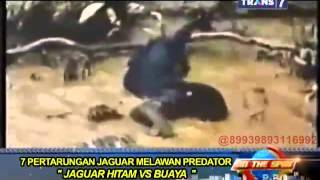 Download On The Spot - 7 Pertarungan Jaguar Melawan Predator