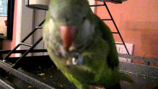 Our quaker parrot Gus' training session using penne noodles!