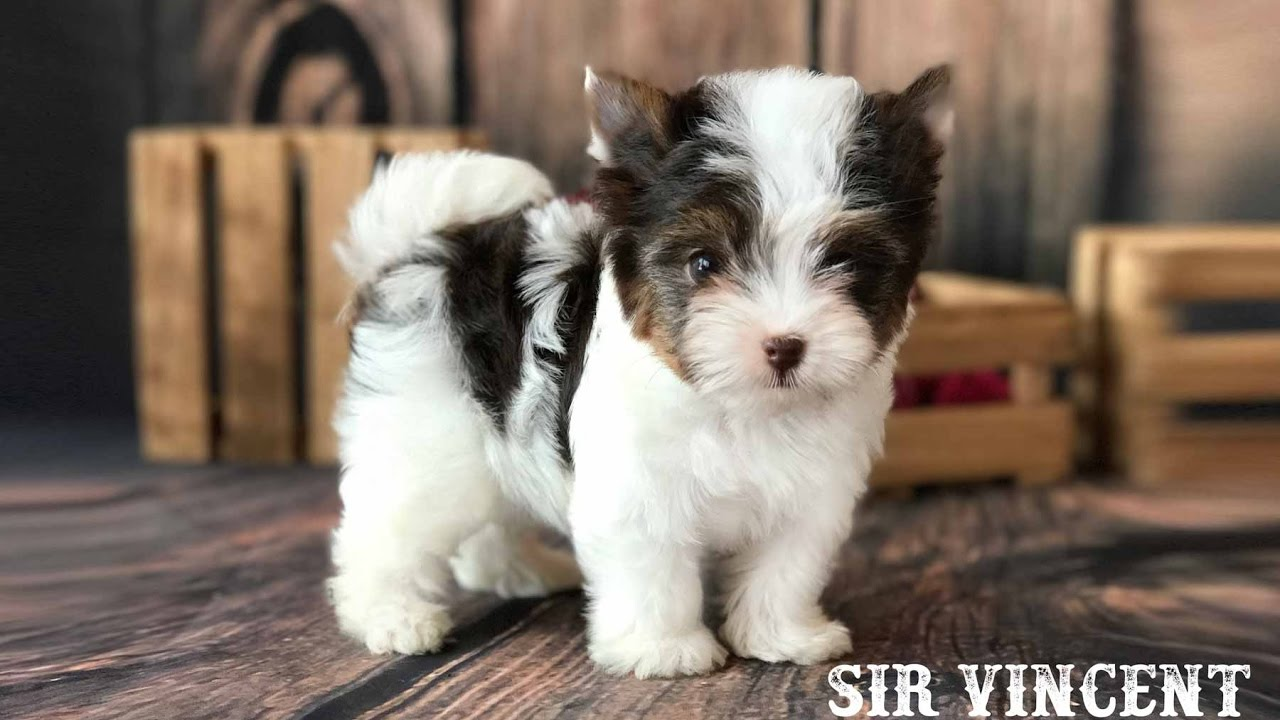 Sir Vincent Is A Chocolate Biewer Terrier Puppy Youtube