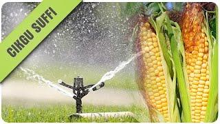 Sistem pengairan tanaman jagung kecil-kecilan #pertanian