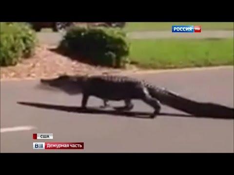 Крокодил на проезжей части кошмарит Флориду