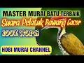 Master Terbaik Untuk Murai Batu Suara Pelatuk Bawang  Mp3 - Mp4 Download