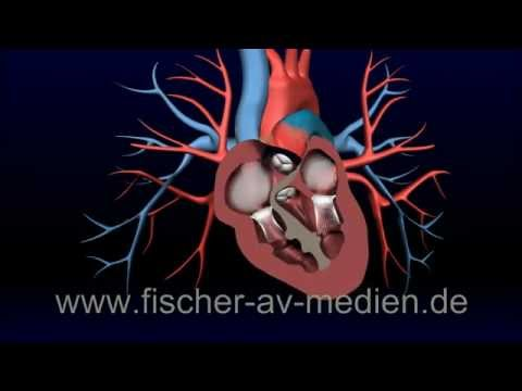 Das Herz - kurz und bündig - 3D Animation - Heart - cardiovascula ...