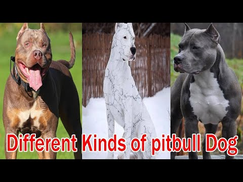 Diffe Types Of Pit Bulls Breeds