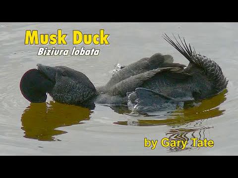 Yellagonga Musk Duck
