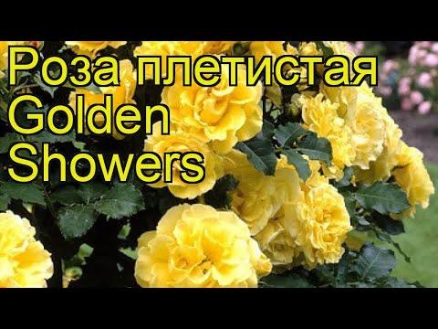 Роза плетистая Голден Шоуэрс. Краткий обзор, описание характеристик, где купить саженцы
