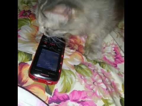 Kucing obses lagu Hael husaini Dijampi