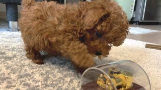 오르골 처음 보는 귀여운 강아지 반응ㅋㅋㅋ 토이푸들 땅…