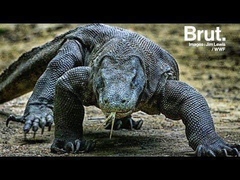 Dragon de Komodo : le plus gros lézard au monde