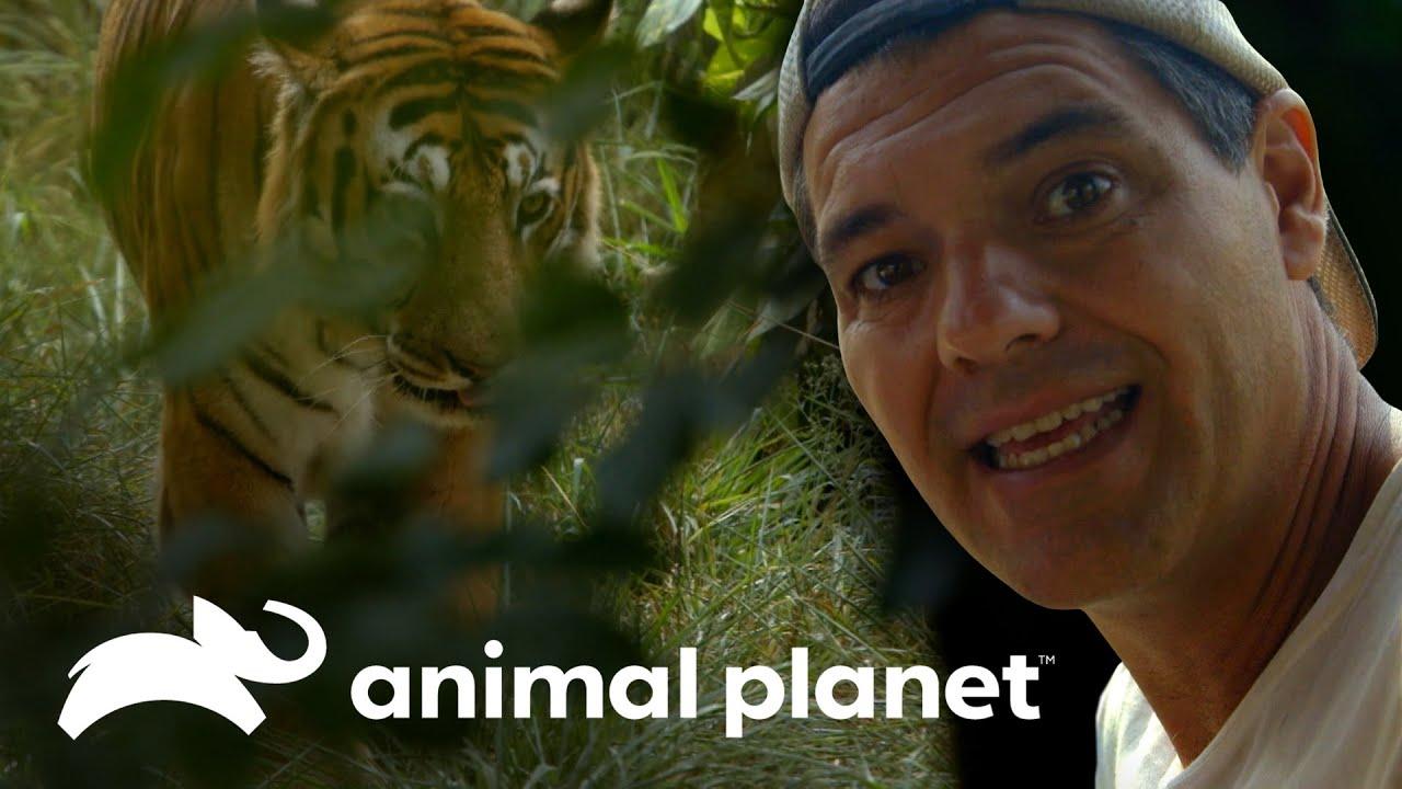 Download Frank se encuentra cara a cara con un tigre de bengala | Wild Frank en India | Animal Planet