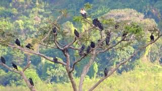 Aves de Venezuela - Aves de Barinas - Rey Zamuro - Sarcoramphus papa