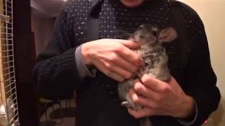 Epic Chinchilla Massage. Funny video.