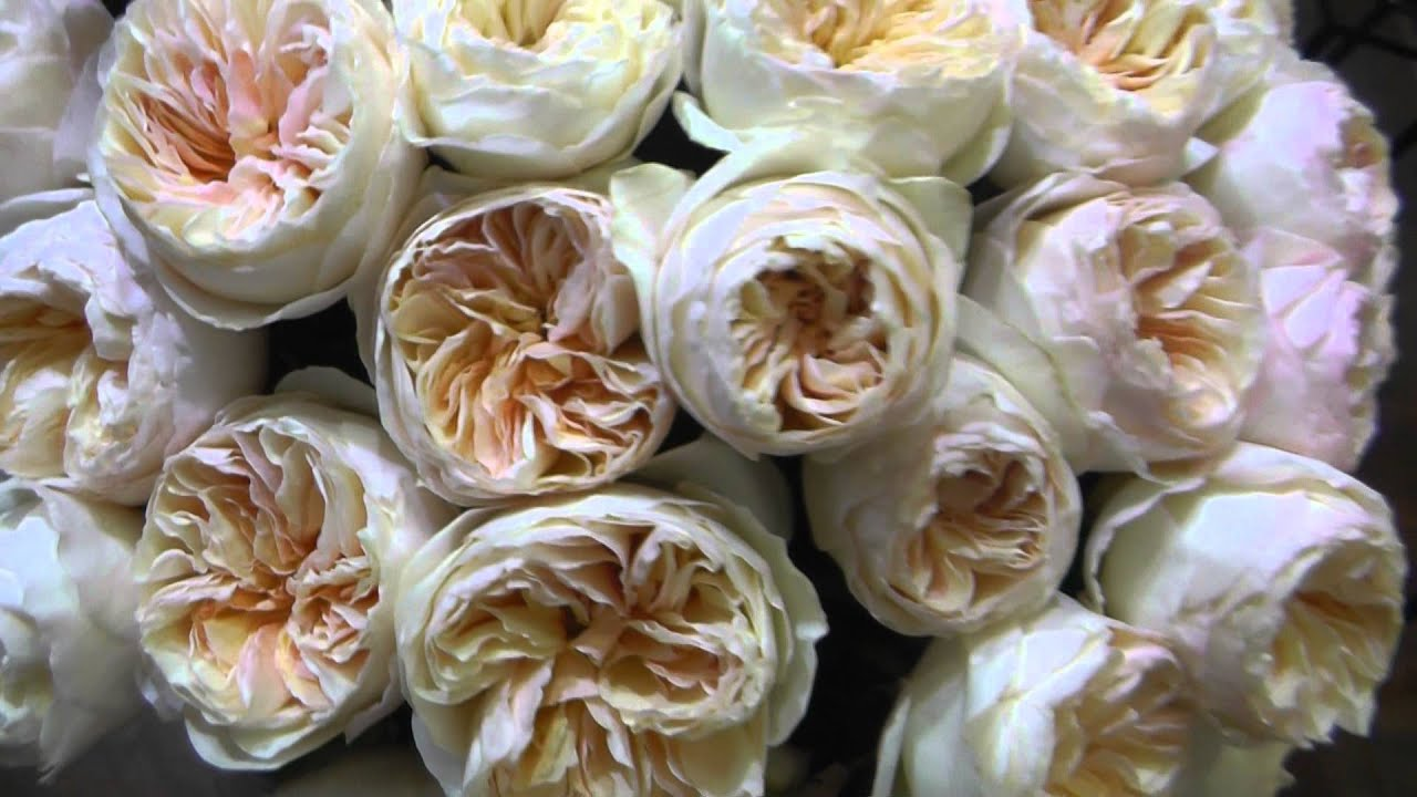 "Peach Garden Rose david austin garden rose ""juliet"" - peach garden roses - youtube"