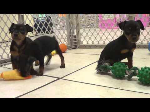 miniature-pinscher,-puppies,-for,-sale,-in,-edmond,-oklahoma,-ok,-cleveland,-comanche,-canadian,-rog