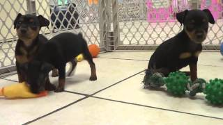 Miniature Pinscher, Puppies, For, Sale, In, Edmond, Oklahoma, Ok, Cleveland, Comanche, Canadian, Rog