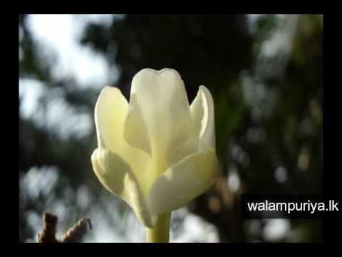 Tropical flower plants sri lanka