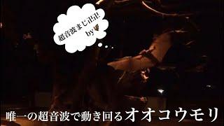 出典・Private Zoo Garden―エジプトルーセットオオコウモリ.】 → http://...