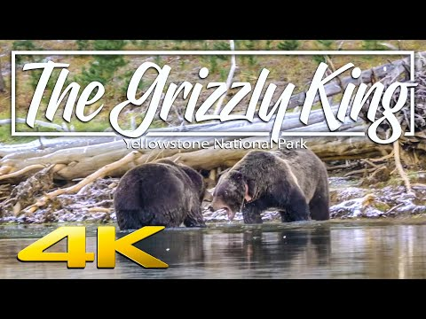 The Grizzly King | Grizzlies fighting in Yellowstone National Park 4K