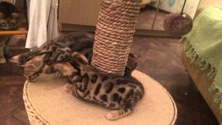 Бенгальские котята!!! Антистресс)))))